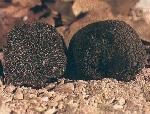 Immagine: (tuber melanosporum vitt) o tartufo nero pregiato di Campoli Appennino