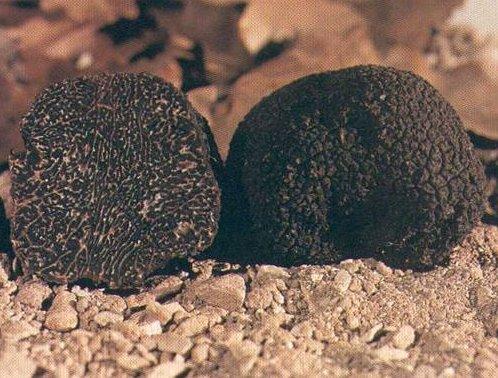 (tuber melanosporum vitt) o tartufo nero pregiato di Campoli Appennino
