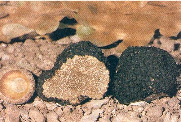 (tuber aestivum vitt) o tartufo nero estivo di Campoli Appennino